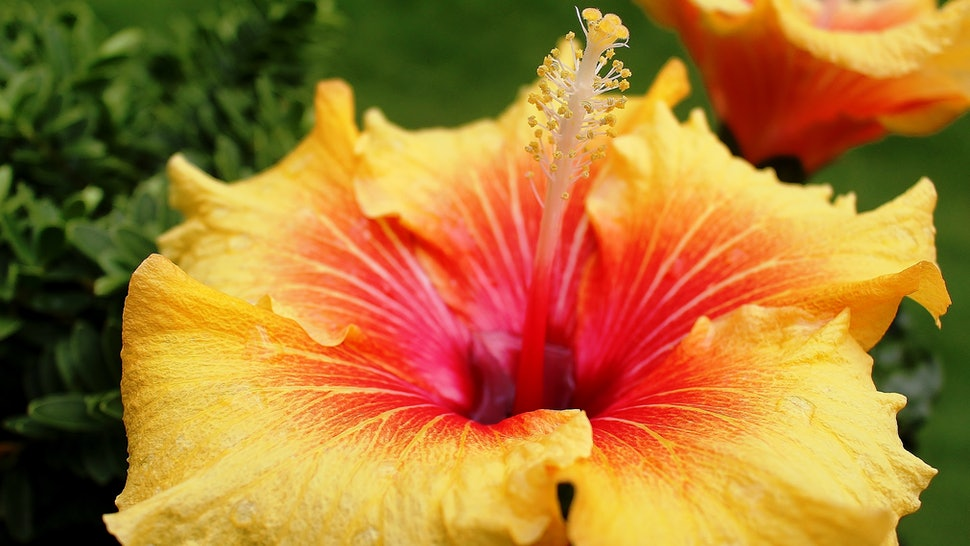 7 Reasons Why Hibiscus Oil Is Officially The New Coconut Oil