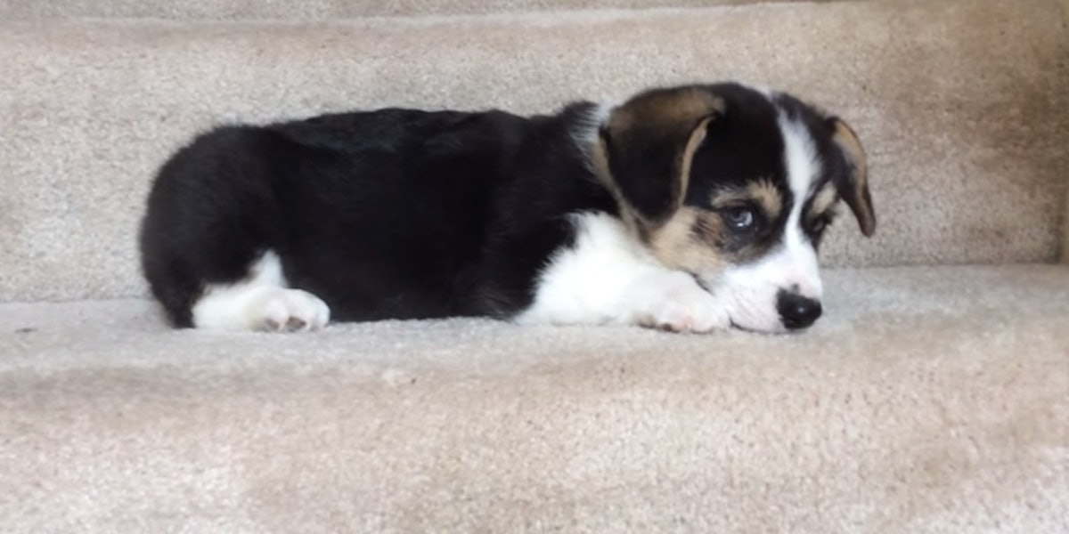 Adorable Corgi Puppy Tries To Go Down Steps And Literally Can't Even (Video)