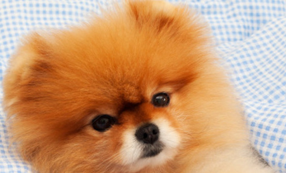 This Happy Pomeranian Getting A Haircut Is Actually The Cutest Thing