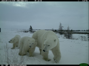 polar bars