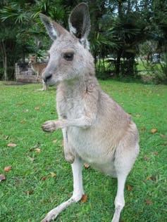 kangaroos southpaws