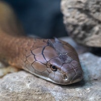Cobra Cannibalism: Snakes Eat Each Other in Bizarre Study