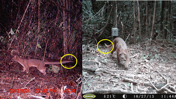 Flat Tail, seen in 2008 as a young pup (left) and 2013 as a mature male (right). We were able to fol...