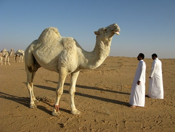 camel, Saudi Arabia