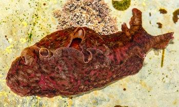 Sea Hare Dorsal Surface  Aplysia californica