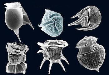 Dinoflagellate.