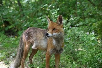 fox chernobyl