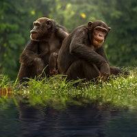 Unselfish Apes Willingly Share Food, Shedding Light on Human Generosity