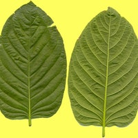 DEA and FDA Remain Tight-Lipped on When Kratom's Future Will Be Revealed