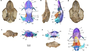 early mammal, cranium