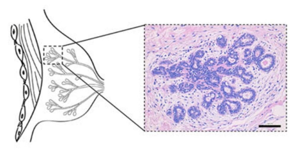 mini boob breast tissue