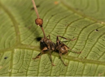 A dead carpenter ant on the underside of a leaf after being infected by a parasitic fungus. The fungal fruiting body with spores emerges from the ant's head.