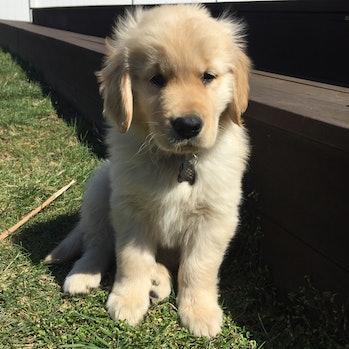 Golden retriever Zuke as a puppy
