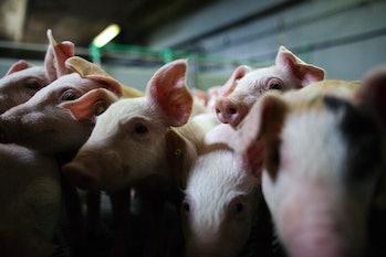 Pig farm snouts