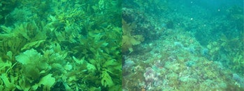 kelp Western Australia