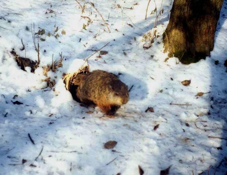 female groundhog