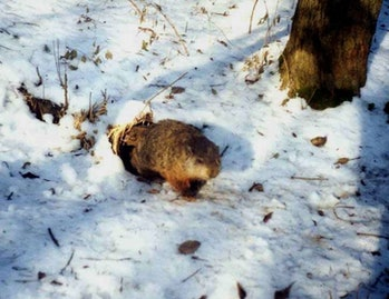 female groundhog