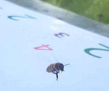honeybees math