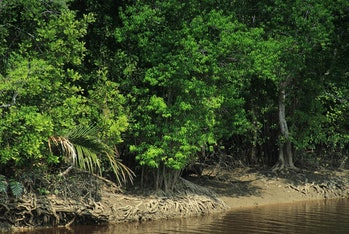 Mangroves from Indonesia