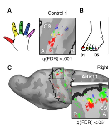 Each finger on the hand of a control volunteer (A) is clearly associated with specific regions in the brain, but their toes (B) are not. In the brain of the foot artists (C), though, each toe was clearly associated with a brain region.