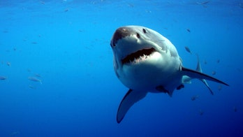 Daly-Engel and her colleagues confirmed a great white shark nursery off the coast of California.