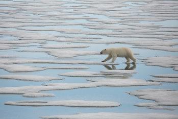 polar bear hunting in svalbard