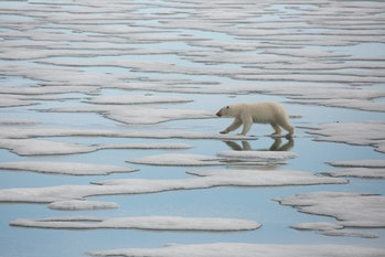 polar bear hunting in svalbard