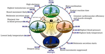 The circadian rhythm orchestrates many biological processes, including digestion, immune function,and blood pressure, all of which rise and fall at specific times of the day. Misregulation of the circadian rhythm can have adverse effects on metabolism, cognitive function,and cardiovascular health.