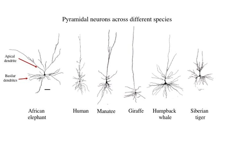 Tracings of the most common neuron (the pyramidal neuron) in the cerebral cortex of several species. Note that the elephant has widely branching apical dendrites, whereas all other species have a more singular, ascending apical dendrite. The scale bar = 100 micrometers (or 0.004 of an inch).