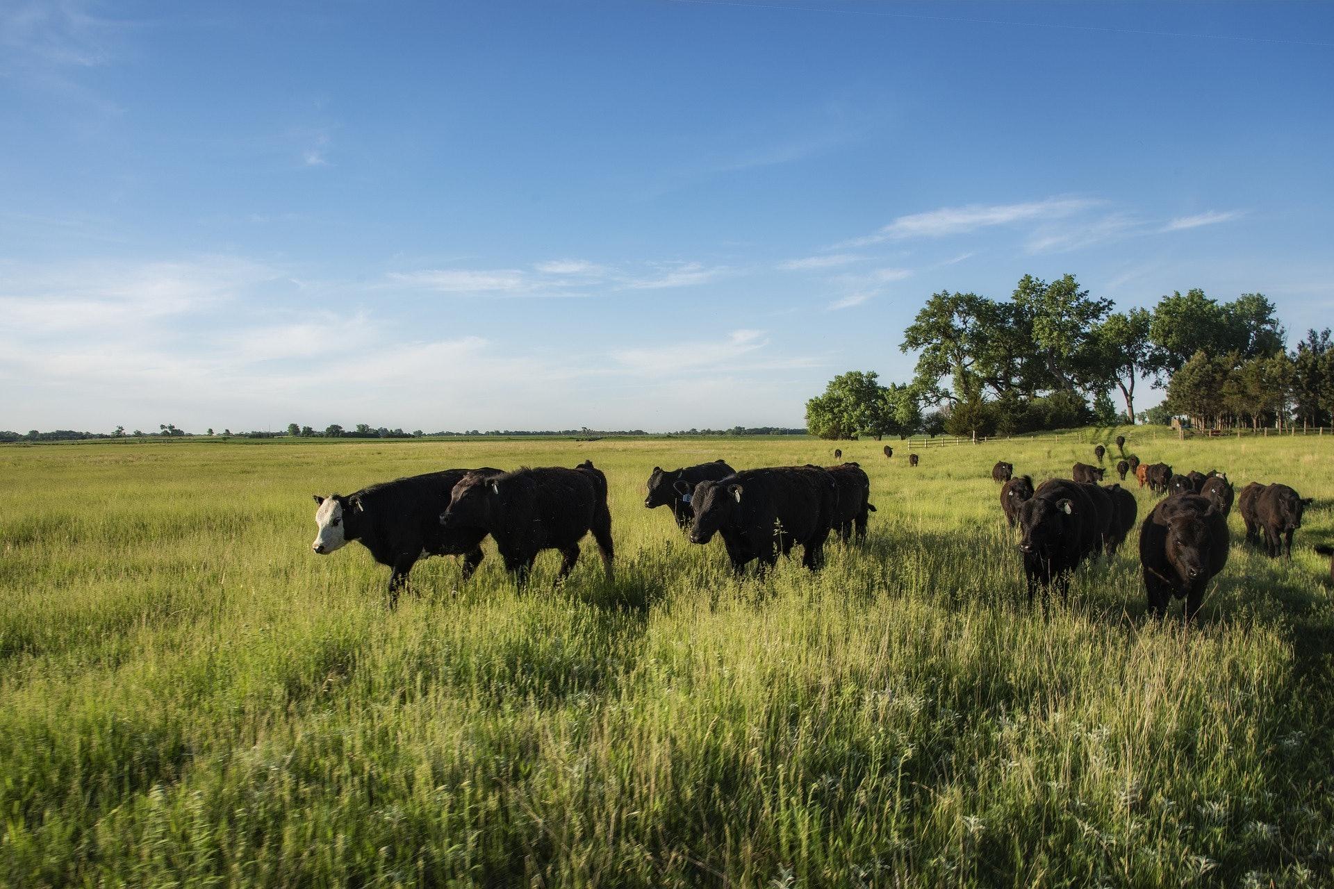 cows grass-fed