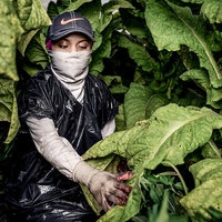 Human Rights Watch: Teens Get Sick Working in America's Tobacco Fields