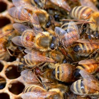 Join the Citizen Scientists Hunting Zombie Parasites That Lay Eggs in Bees