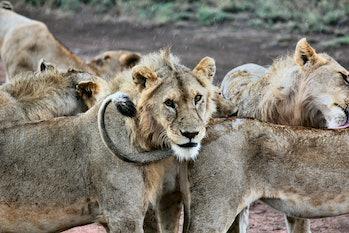 pride of lions serengeti wildlife animals