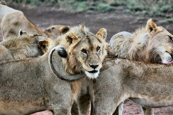 pride of lions serengeti wildlife animals