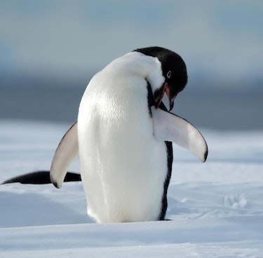 Penguin in Antarctica