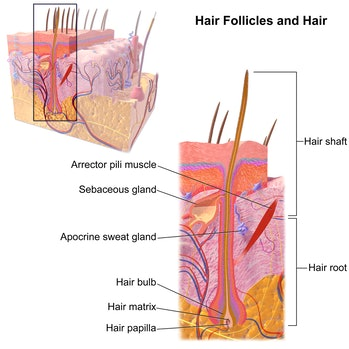 hair follicle shaft male pattern baldness