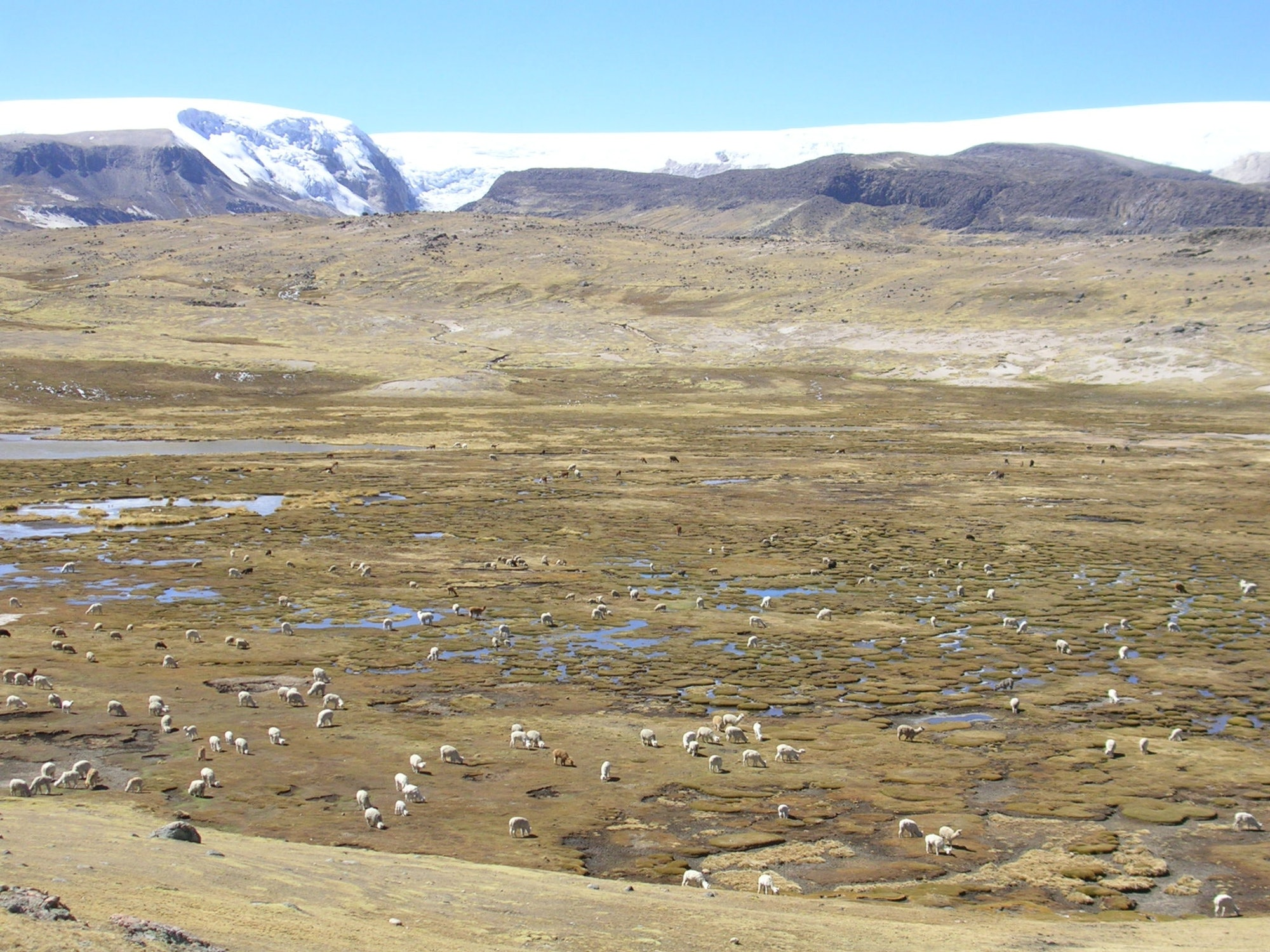 Llamas and alpacas grazing on wetlands maintained by Quelccaya ice cap melt water.