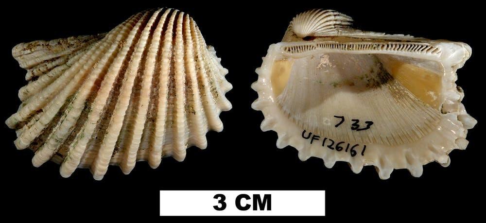 extinct mollusks' fossils
