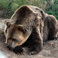 Grizzly Bears Spared From Government-Authorized Hunt for at Least 14 Days