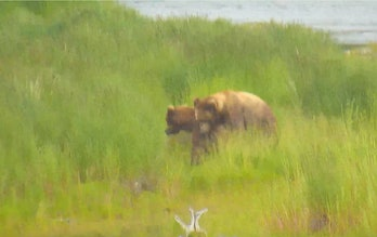 Brown Bear Sex Google Earth Voyager Live Stream Camera Cam Alaska