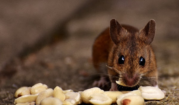 lab mouse diet obesity