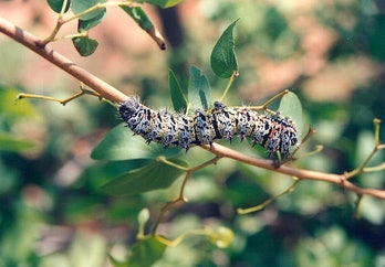 mopane worm