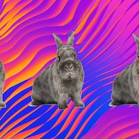 How copulating rabbits revealed the evolutionary roots of female orgasms