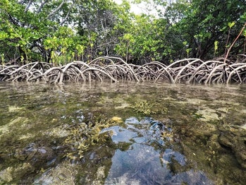 mangrove lagoons