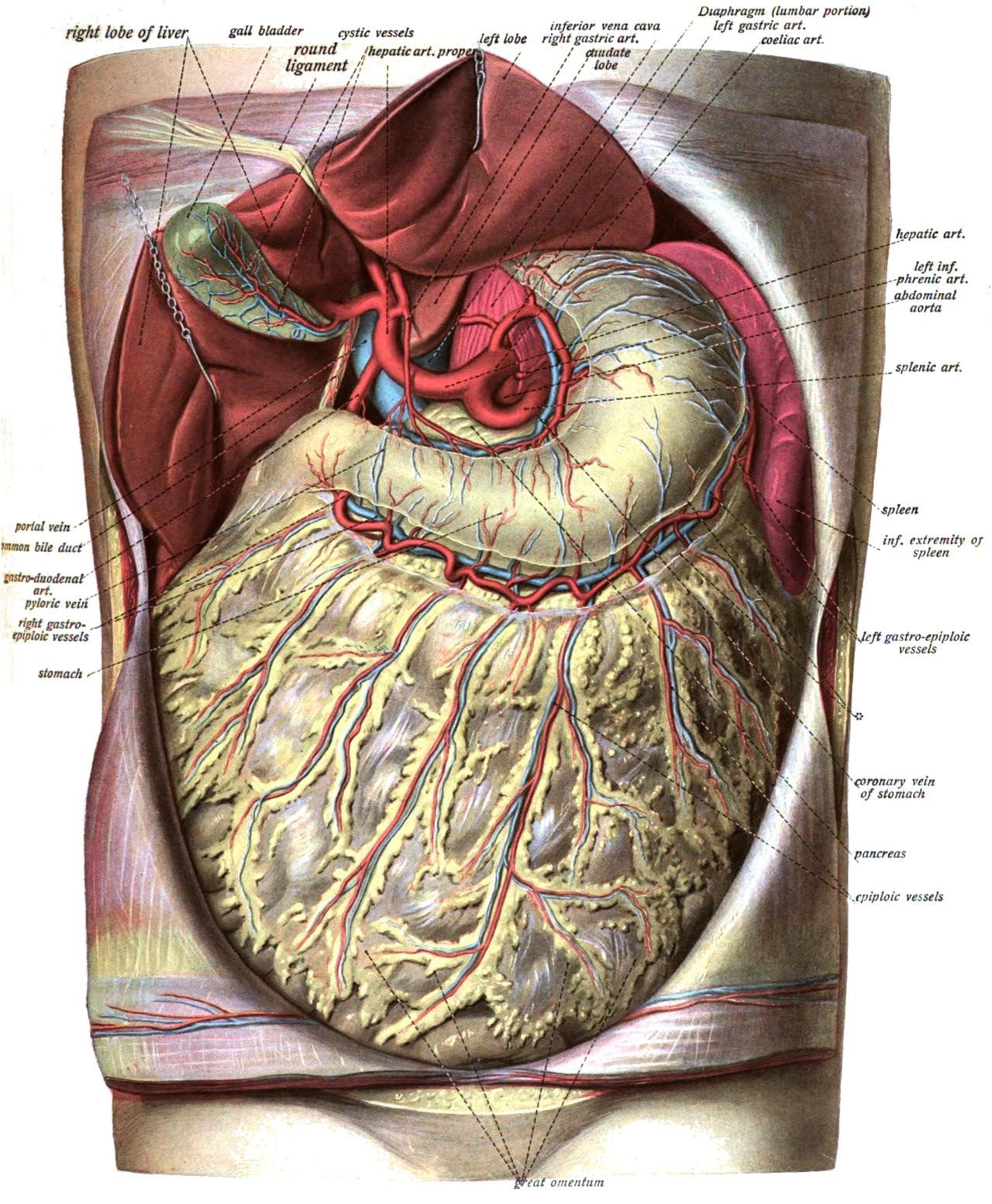 apron omentum fat body immune system