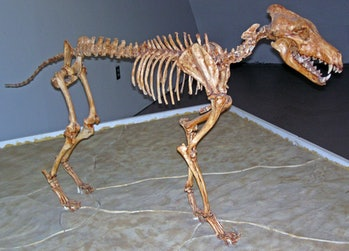 direwolf skeleton de-extinction prehistoric animal Game of Thrones