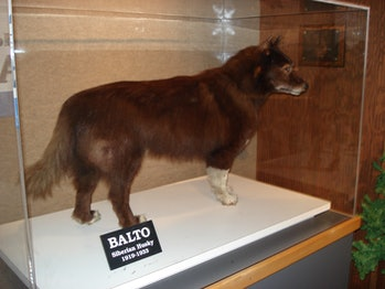 Balto's remains at the Cleveland Museum of Natural History.