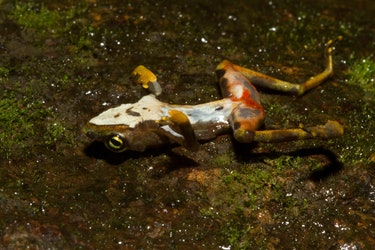 Dead Bd-infected Atelopus limosus at Sierra Llorona (posed to show ventral lesions and chytridiomycosis signs)