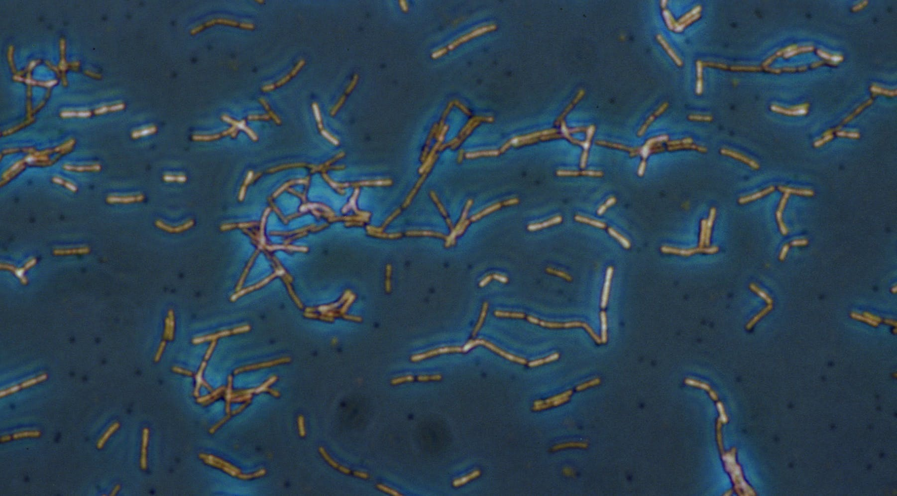Lactobacillus acidophilus