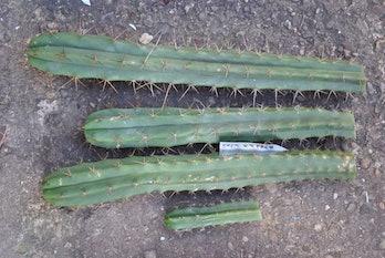 T bridgesii SS02 x T pachanoi (2)